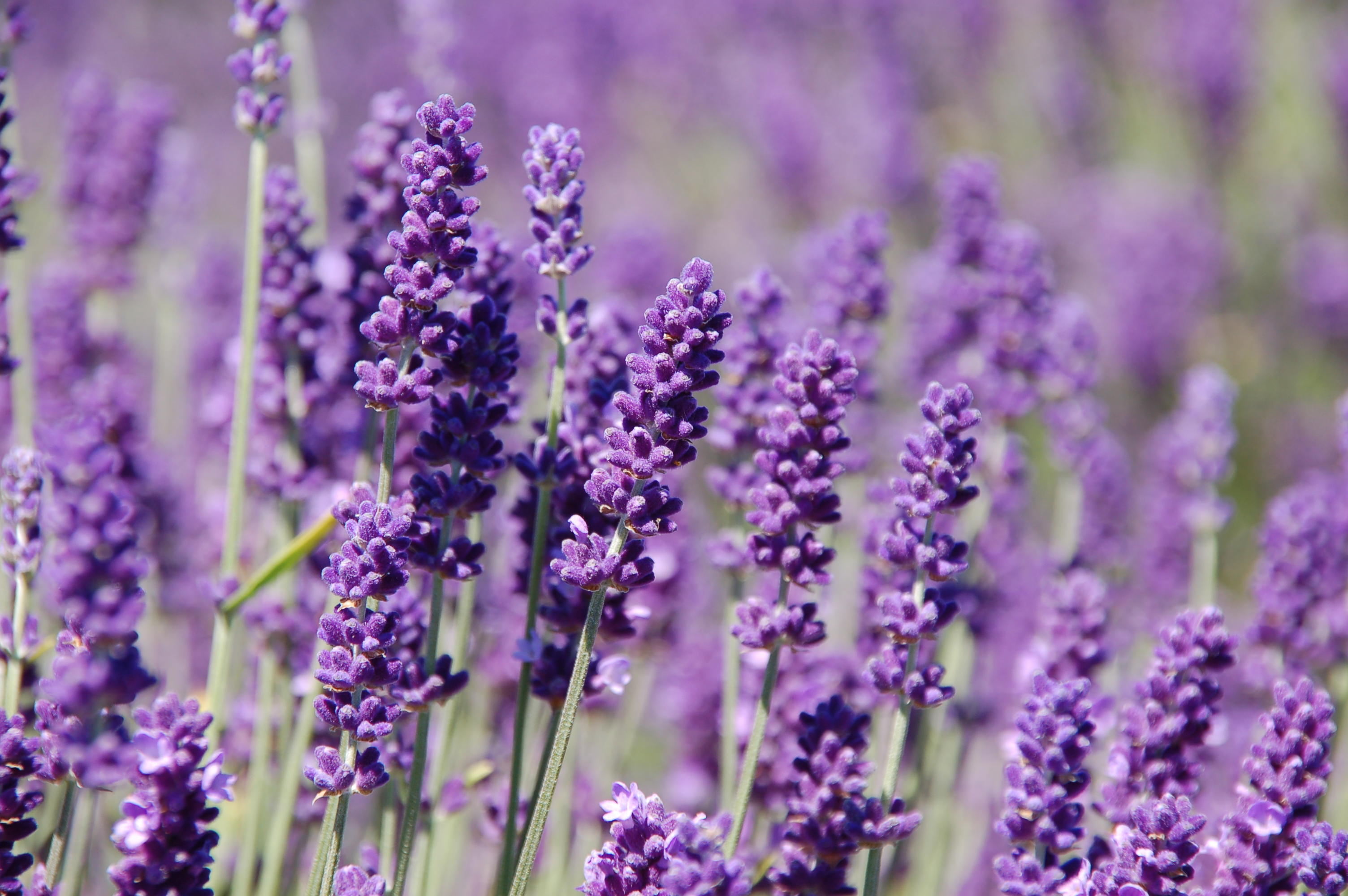 Lavender - Spice of the Week - High Plains Spice Company